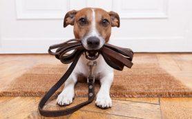 Σκύλος με λουράκι pet shop pet-astero